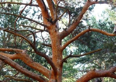 El Pino Royo no tiene comparación en estos bosques, antiguos testigos de la extracción maderera